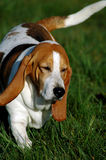Dog - Beagle 2. Dog - beagle- walking on grass Royalty Free Stock Photos