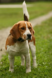 Dog Beagle Stock Photography
