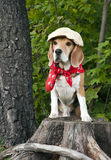 Dog Beagle Royalty Free Stock Image