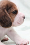 Dog beagle Royalty Free Stock Images