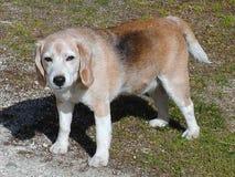 Dog Beagle Royalty Free Stock Photos