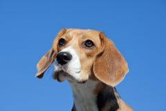 Dog beagle on blue sky Royalty Free Stock Photography