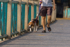 Dog beagle breed. Dog so cute beagle breed walking on brige Stock Photo