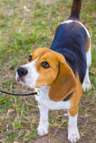 Dog Beagle breed on the green grass in the summer royalty free stock image