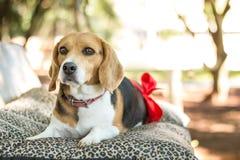 Dog, Beagle, Dog Breed, Dog Like Mammal Stock Image