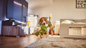 Dog beagle fetching a green rope indoors. Dog beagle purebred running with a green rope in house in living room. Fetching a toy indoors royalty free stock image