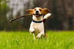 Dog Beagle with a stick on a green field during spring runs towards camera stock photos