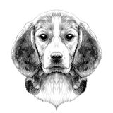 Dog Beagle head. Dog head breed Beagle sketch vector graphics black and white drawing Royalty Free Stock Image