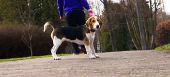dog Beagle on a leash for a walk with its owner Royalty Free Stock Photo
