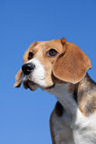 Dog Beagle On Blue Sky Royalty Free Stock Photo