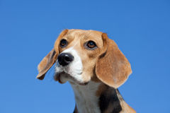 Dog Beagle On Blue Sky Royalty Free Stock Photography