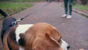 Dog run to camera and sniff it. Dog beagle run to camera and sniff it stock footage