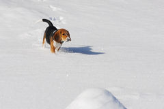Dog beagle running in winter snow Royalty Free Stock Photos