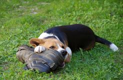 Dog beagle and shoe Royalty Free Stock Photos