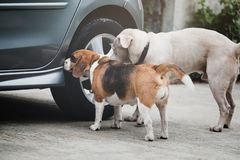 Dog beagle smelling and survey around car wheel before pee, The car had a different smell of dog pee stock photos