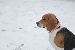 Dog beagle and snow in Park Royalty Free Stock Photography