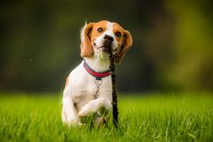 Beagle dog in a field with stick. Dog Beagle with a stick on a green field during spring runs towards camera stock photography