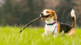 Beagle dog in a field runs with a stick stock photos