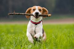 Beagle dog in a field runs with a stick royalty free stock photography