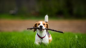 Beagle dog in a field with stick. Dog Beagle with a stick on a green field in a spring walks towards camera stock photo