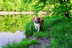 Dog beagle on the walk. In the park outdoor Stock Photos
