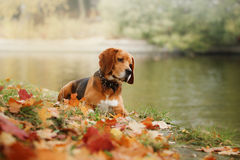 Dog Beagle walking in autumn park Royalty Free Stock Photos