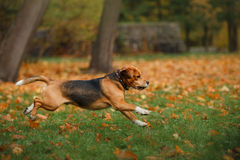 Dog Beagle walking in autumn park Royalty Free Stock Photos