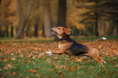 Dog Beagle walking in autumn park Stock Photography