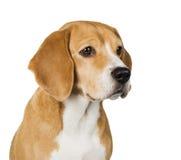 Dog Beagle. On a white background royalty free stock image
