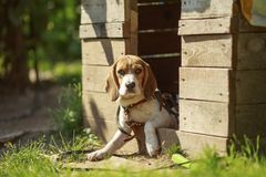 Dog beaglet på en gå tidigt på morgonen på soluppgång royaltyfri bild