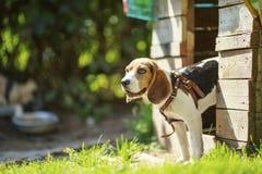 Dog beaglet på en gå tidigt på morgonen på soluppgång royaltyfria foton