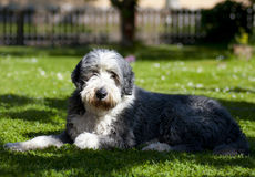 Dog, bearded collie Stock Photos