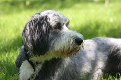 Dog, bearded collie Stock Photo