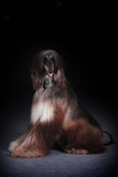Dog beautiful Afghan hound Royalty Free Stock Image