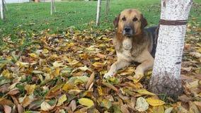 Dog. Beautiful dog in  autumn Stock Photos