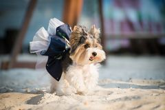 Little dog. Dog in beautiful clothes on the beach in a summer sunny day Royalty Free Stock Photography