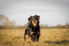 Dog. A beautiful dog in the landscape Stock Images