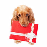 The dog with the beautiful present Royalty Free Stock Photography