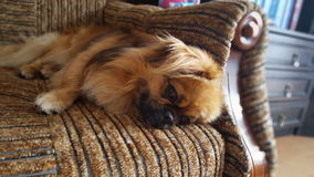 Dog. Beautiful dog tired Stock Images