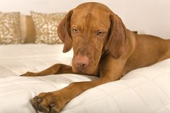 Dog on bed Stock Photo