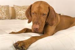 Dog on bed Stock Photo