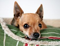Dog in Bed. Chihuahua resting in a dog bed Royalty Free Stock Images