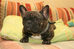 Dog in bed. Brown french bulldog resting in bed stock images
