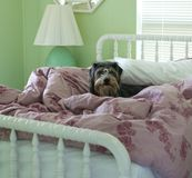 Dog in bed. Dog in white bed with green walls Royalty Free Stock Photos