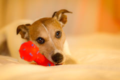 Dog in bed with ball or toy. Jack russell dog playing with owner in bed , holding red toy or ball , cute and sweet look ,  in bed Stock Photography
