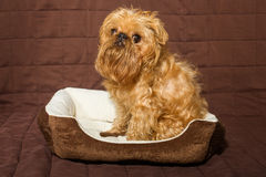 Dog in bed. Dog breed Brussels Griffon is in bed Stock Images