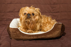 Dog in bed. Dog breed Brussels Griffon is in bed Royalty Free Stock Photo
