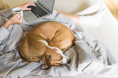 Dog in bed with human, top view. Female person checking e-mail and drinking morning tea or coffee, dog sleeping next to her Stock Images