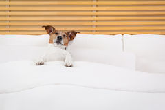 Dog in bed Royalty Free Stock Photography