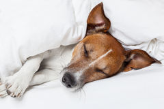 Dog in bed Stock Images